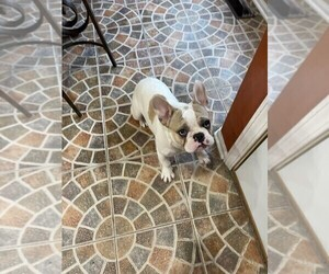 French Bulldog Puppy for sale in CHICAGO RIDGE, IL, USA