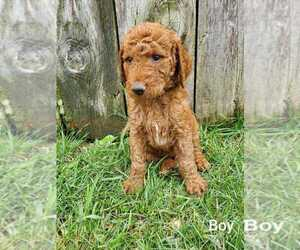 Goldendoodle-Poodle (Standard) Mix Puppy for Sale in EPHRATA, Pennsylvania USA