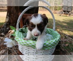 Australian Shepherd Puppy for sale in MUSKEGON, MI, USA