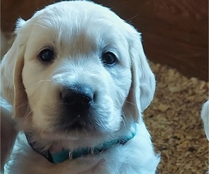 English Cream Golden Retriever Puppy for Sale in FOWLERVILLE, Michigan USA
