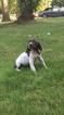 German Shorthaired Pointer Puppy For Sale in NORTH OLMSTED, OH,