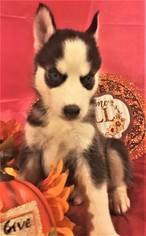 View Ad Siberian Husky Puppy For Sale South Carolina Inman Usa