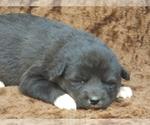 Puppy 5 Wolf Hybrid