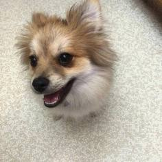 Pomeranian Dog For Adoption in MARION, OH