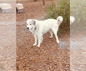 Great Pyrenees Puppy for sale in LAKE BUTLER, FL, USA