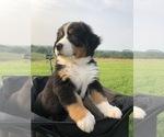 Puppy 4 Bernese Mountain Dog