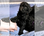 Small #23 Poodle (Standard)