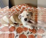 English Bulldog-Shih Tzu Mix Puppy For Sale in ALIQ, PA, USA