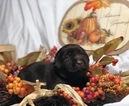 Small #17 Labrador Retriever