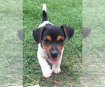 Small #6 Jack Russell Terrier
