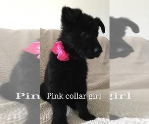 German Shepherd Dog Puppy for sale in HIGHLAND, MI, USA