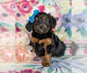 Wapoo Dog for Adoption in NOTTINGHAM, Pennsylvania USA