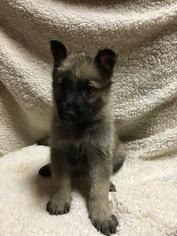 German Shepherd Dog Puppy For Sale in SAN ANTONIO, TX