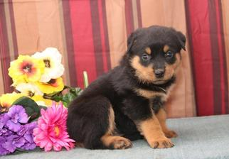Rottweiler Puppy For Sale in NEW HOLLAND, PA