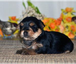 Yorkshire Terrier Puppy for sale in ALLEN, TX, USA