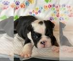 Small #7 English Bulldog