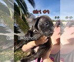 Small #10 American Pit Bull Terrier-Cane Corso Mix