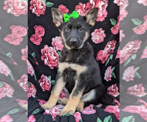 Medium Photo #2 German Shepherd Dog Puppy For Sale in NEW PROVIDENCE, PA, USA