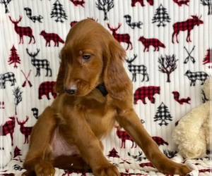 Irish Setter Puppy for sale in LANCASTER, PA, USA