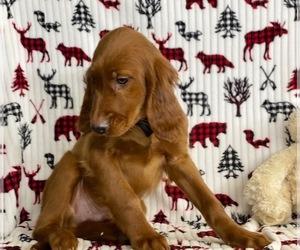 Irish Setter Dog for Adoption in LANCASTER, Pennsylvania USA