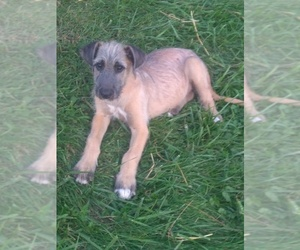 Irish Wolfhound Puppy for Sale in NEW CONCORD, Ohio USA