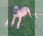 Small Irish Wolfhound