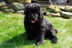 Newfoundland Puppy For Sale in FREDERICKSBURG, OH, USA