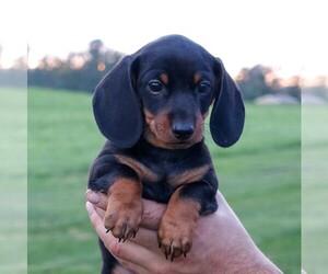 Dachshund Dog for Adoption in ELVERSON, Pennsylvania USA