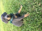 Doberman Pinscher Puppy For Sale in THOMASVILLE, NC,