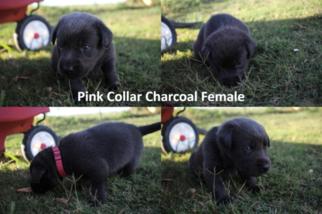 Labrador Retriever Puppy For Sale in CULLMAN, AL, USA