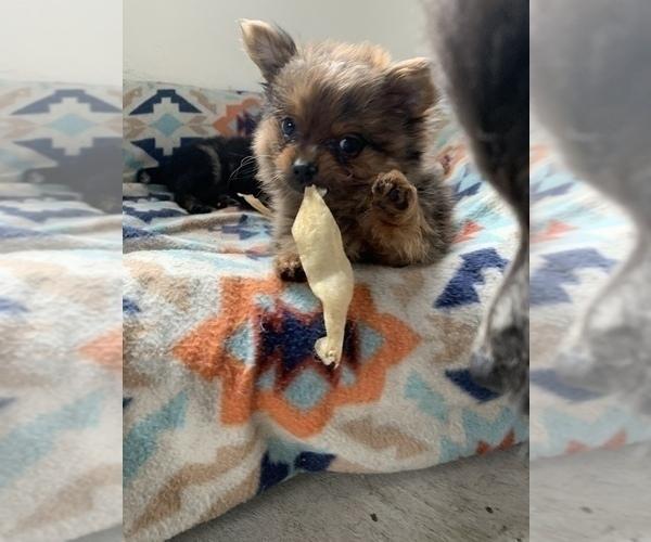 Medium Photo #10 Pomeranian Puppy For Sale in KEAAU, HI, USA