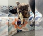 Small Photo #10 Pomeranian Puppy For Sale in KEAAU, HI, USA