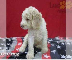 Poodle (Standard) Puppy for sale in MILLERSBURG, OH, USA