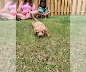 Goldendoodle Puppy for Sale in WILSONVILLE, Alabama USA