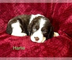 Puppy 8 English Springer Spaniel
