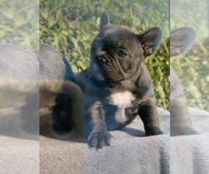 French Bulldog Puppy for sale in SUNNY ISL BCH, FL, USA