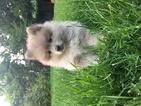 Pomeranian Puppy For Sale in SPOKANE, WA,