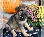 Small #24 German Shepherd Dog