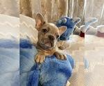 Image preview for Ad Listing. Nickname: frenchbulldog