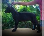 Small Photo #7 Great Dane Puppy For Sale in OCALA, FL, USA