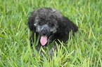 Poodle (Miniature) Puppy For Sale in FORT WORTH, TX, USA