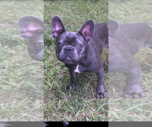 French Bulldog Puppy for sale in SHERMAN, TX, USA