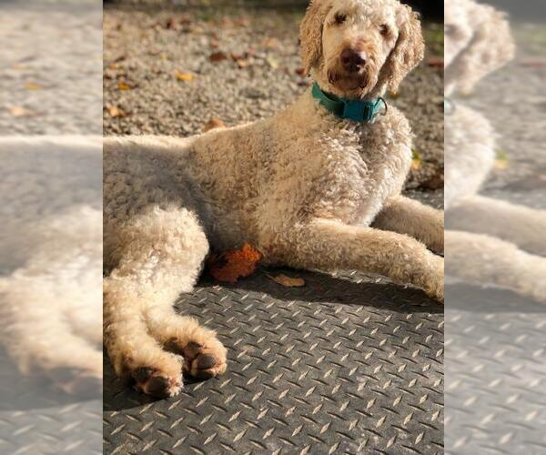Medium Photo #18 Goldendoodle Puppy For Sale in Pacolet, SC, USA