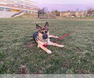 German Shepherd Dog Dog for Adoption in GERMANTOWN, Maryland USA