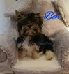Biewer Terrier Puppy For Sale in PLAINFIELD, IL, USA