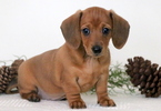 Dachshund Puppy For Sale in MOUNT JOY, PA, USA