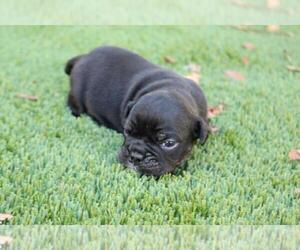 English Bulldog Puppy for sale in FAIRFAX, VA, USA