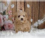 Puppy 9 Maltipoo