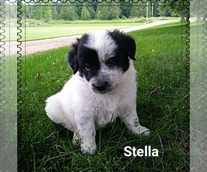 Border Collie Puppy for sale in SPLIT ROCK, WI, USA