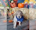 Puppy 7 Poodle (Standard)